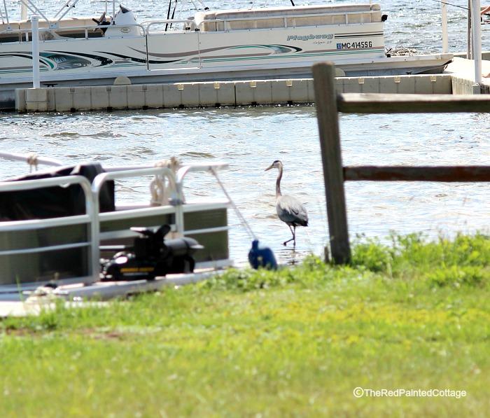 blue heron in water3