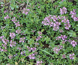 May Flower Challenge – Day 17, Creeping Thyme and Studio Favorites