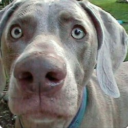 Moments With Molly…A Weimaraner turns 15 years old today