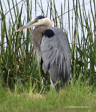 Photography Blue Heron