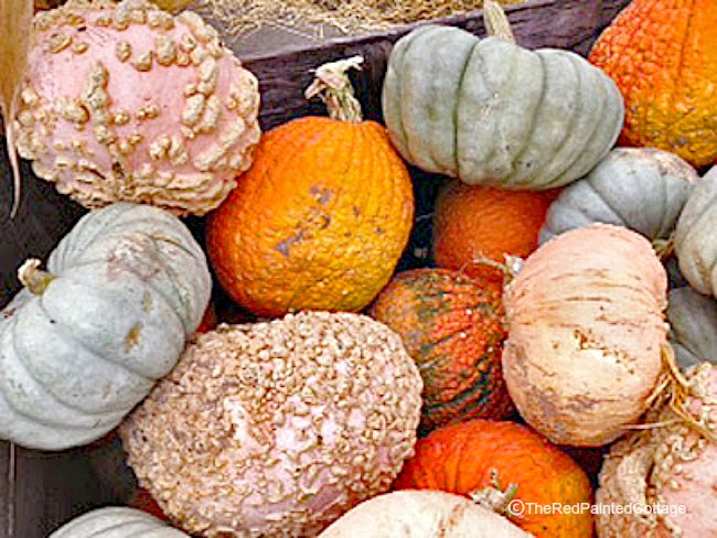 Autumn pumpkins in blue, pink, orange,and white
