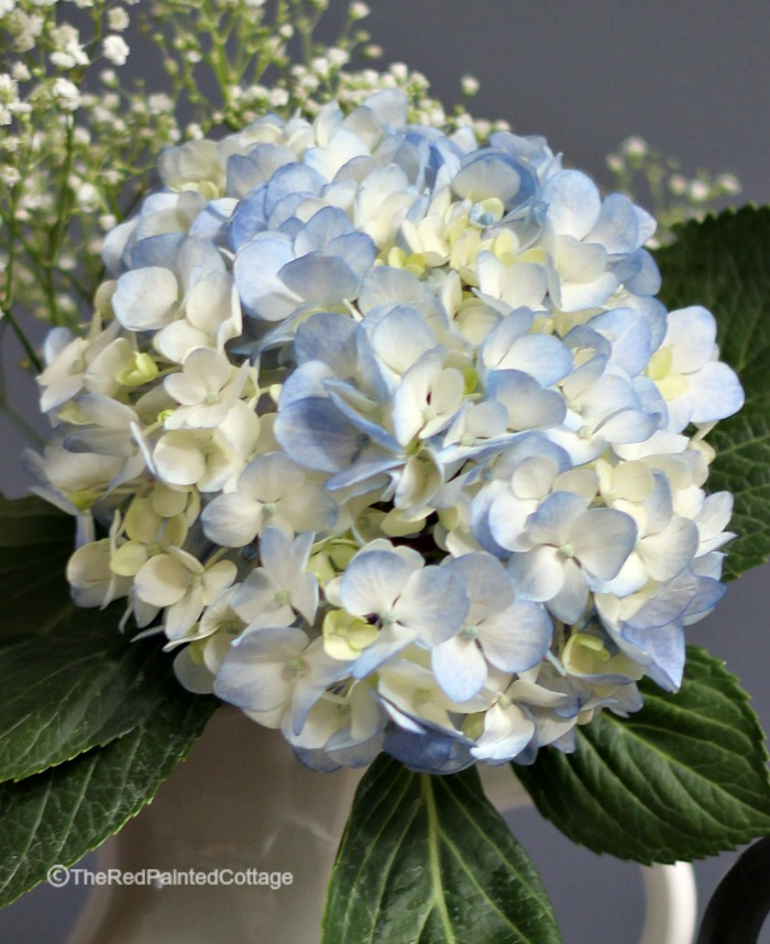 gorgeous blue hydrangea, close up
