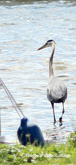 blue heron in water2