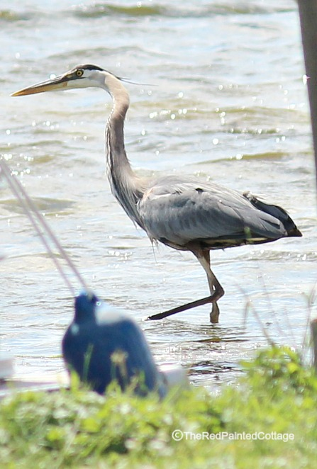 blue heron in water4