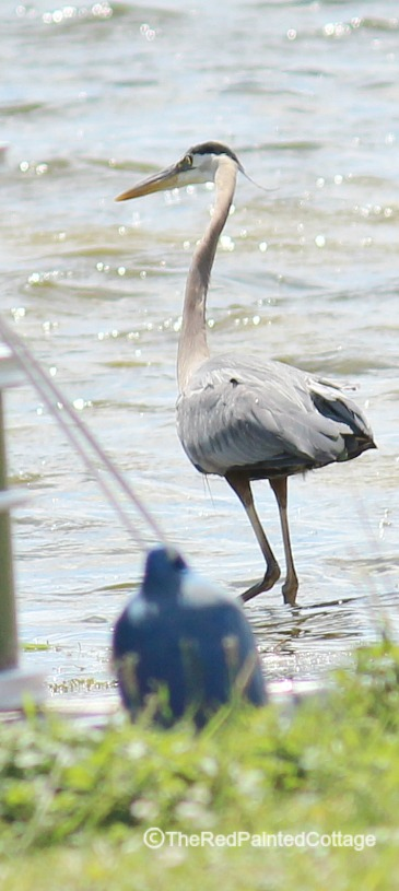 blue heron on water1