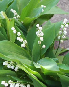 May Flower Challenge – Day 20, Lilies of the Valley