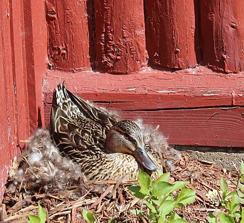 We Missed The Ducklings