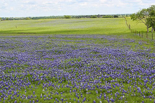It's Bluebonnet Time In Texas