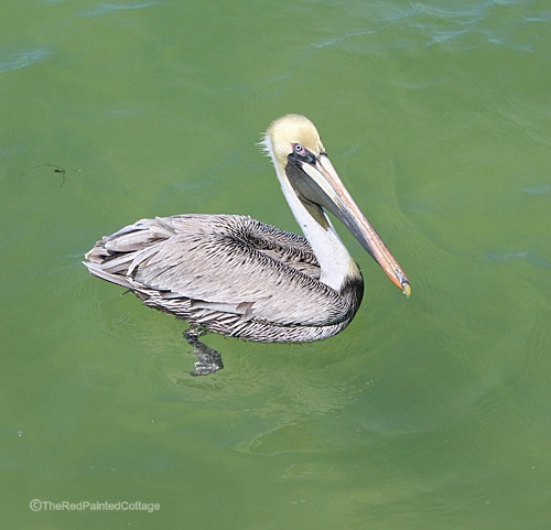 Photography pelican