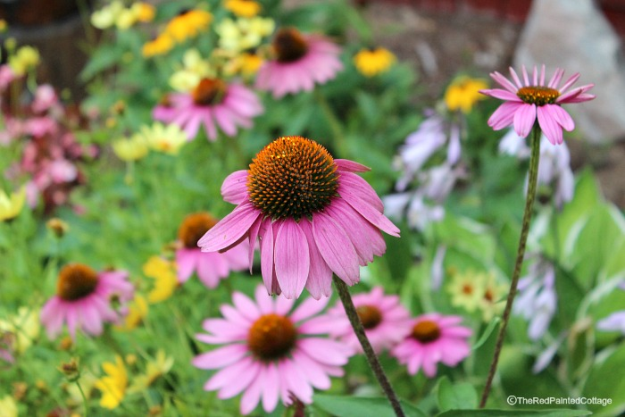 Our Cottage Flowers In August