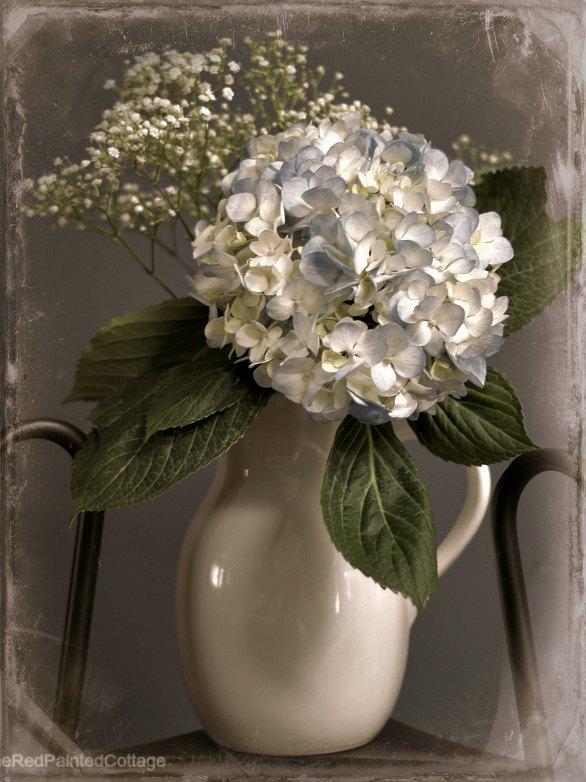 blue hydrangea old