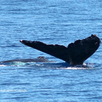Whale Watching In Lahaina, Maui